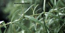 leaves and spines (thorns)