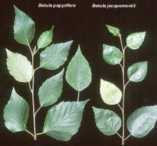 shoots, comparison with <i>B. papyrifera</i>