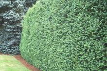 plant habit, hedge