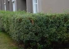 plant habit, sheared hedge