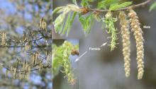 flower catkins, spring