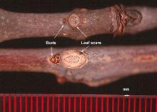 bud and leaf scar, winter