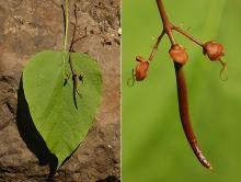 leaf and start of fruit growth