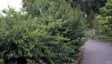 plant habit, shrub, summer