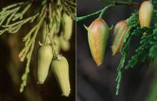 female cones, current season