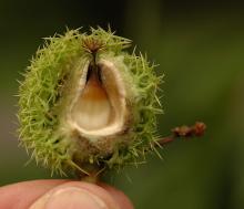 fruit, developing seed