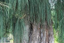 branchlets (twigs)