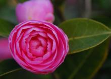 'E. G. Waterhouse'  (C. japonica × C. saluenensis)