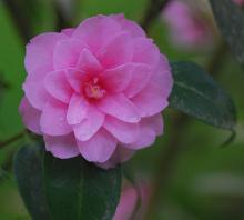 'Spring Festival' (C. hybrid)