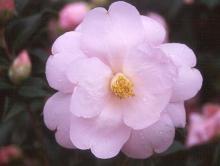 'Taylor's Perfection'  (C. japonica × C. saluenensis)