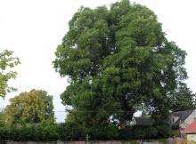 plant habit, large tree