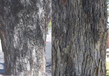 old trunks, bark