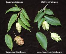 shoot, leaf and fruit, comparison