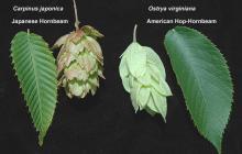 leaf and fruit, comparison