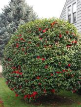 plant habit, sheared plant flowering
