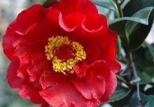 'Bob Hope'  (C. japonica)
