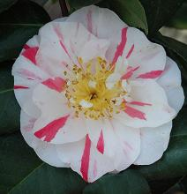 'Eleanor McCown' (C. japonica)