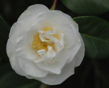 'Lovelight'  (C. japonica)