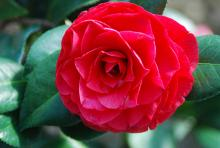 'Nuccio's Bella Rossa'  (C. japonica)
