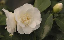 'Shiro Chan' (C. japonica)