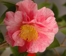 'Sunset Oaks'  (C. japonica)