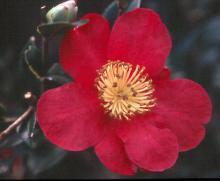 'Yuletide'  (C. japonica × C. sasanqua)