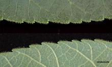 leaf margins