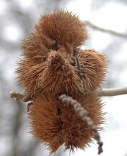 fruit remnants, winter