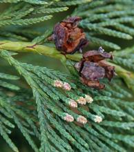 spent seed cones and terminal male cones