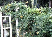 plant habit, yellow flowering