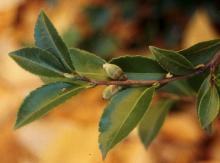 leaves and buds