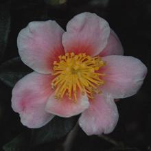 Pink-A-Boo®  (C. sasanqua)