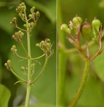immature flower cluster and buds