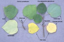leaves, comparison