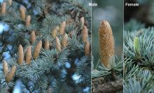male and female cones at pollen release, fall