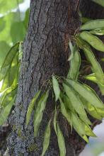 fruit developing on the trunk