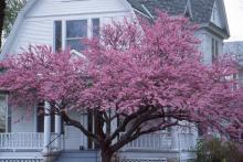 older tree, flowering
