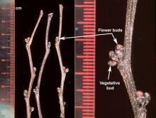 winter twigs, buds