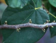 flower buds, late summer