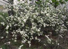in habitat, western Oregon, spring flowering