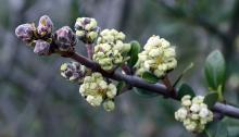 flower buds and opening flower clusters