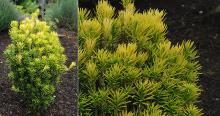 plant habit and branch tips