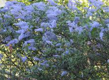 plant habit, flowering, bluish form
