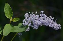 flower cluster, bluish form