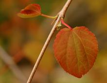 leaf, spring ('Amazing Grace')