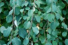 leaves ('Amazing Grace')