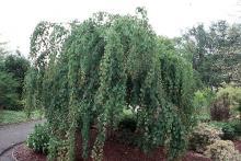 plant habit, late spring ('Pendulum')