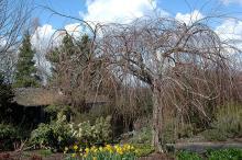 plant habit, early spring ('Pendulum')
