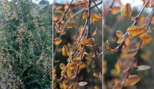 new leaves ('Pendulum')