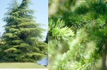 plant habit and needles